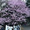"""新宿御苑で""""フライングな""""花見をする(2019年3月21日)"""
