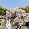 Vストローム250とお花見ツーリング 京都舞鶴の吉田のしだれ桜
