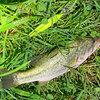 小雨の中での3種類の魚が釣れました