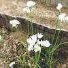 アリウムロゼウムの花とトイトレの途中経過