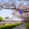 平成30年館林市さくら満開報告【平成30年3月30日~4月1日】~桜を見逃した方・次年度以降の参考に~