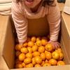 【ふるさと納税】『黒酢みかん』は極上のフルーツでした!