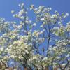 相模原の春 白いハナミズキ、満開 !(2021年4月7日)