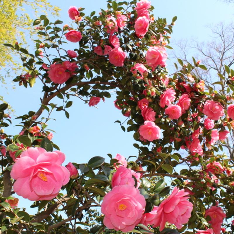 モノクロの景色にさよなら♪♪春の訪れを告げるツバキの名所5選