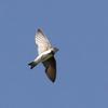 再掲:ショウドウツバメ飛翔
