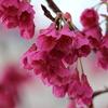 早咲きの桜は寒緋桜でした。