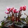 塊茎植物の交配に挑戦!