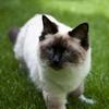 穏やかで気品あふれる猫 ラグドールの基礎知識
