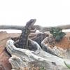 ジンバブエヨロイトカゲの日常。