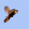 飛びながら囀るオオセッカ