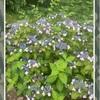 額紫陽花の満開