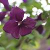 クレマチス ネグリチャンカ と 香る花