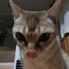 猫紹介 シンガプーラのシグレの話なの 世界最小の猫種だよ