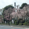 明治神宮外苑『枝垂れ桜』