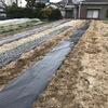 ようやくジャガイモのゴロゴロ植えを完了。