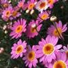 ボンザマーガレット開花!リーフ咲きローズピンク