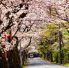 伊豆高原桜並木①