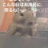 【デグー】ぴーちゃんお風呂大好きの巻
