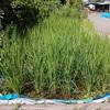 3年生の稲.      Reis wächst!