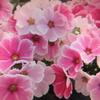 1月10日誕生日の花と花言葉歌句