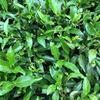 ヌワラエリヤで紅茶工場見学したけど、理解出来ずに終わった話