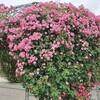 【成田】ベリーいっぱいの観光農園成田ファームランドでバラに癒される