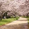 桜 石手川 松山城
