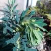 ユーフォルビアの花芽