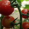 トマトが赤くなってきました!