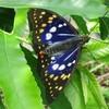 国蝶オオムラサキの飼育ハウス作り