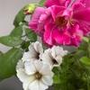 一番花後の挿し木苗 鉢上げしました!