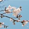 近頃のカナリヤと桜の関係
