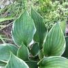 魅力的な葉