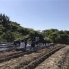 若者自立支援合宿in佐久島でいも焼酎に使うさつまいも植えた話