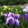 【菖蒲まつり2017】今年も東村山市にある北山公園の菖蒲まつりに行ってきたぞ!大自然に癒やされる~!