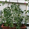プチトマトとミニパプリカの売れ残りの苗を買いました