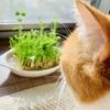 【猫学】猫草はあげた方がいいの?わがやで猫草を置いていない理由。