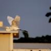 ベリーズ 夕日に映える Great Egret(グレート イグレット)