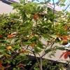 カキ(Diospyros kaki、神の食べ物の柿)