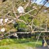 冬桜が、寒空の下に花を咲かせています!