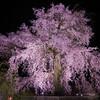 春もおわったので円山公園の桜でもおいておきます