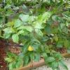 レモンの実が収穫できるようになりました