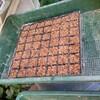 小松菜を蒔く
