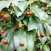 ソヨゴの雌の木の赤い実