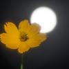 コスモスと月、秋の訪れ