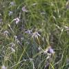 シラサギカヤツリ