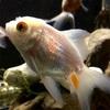 金魚とプレコ