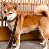 門におしっこ問題 - Dog Pee on Our Gate