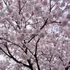 【幼稚園,小学校*入園入学準備】桜の開花予想をチェックして事前に写真の前撮りがおすすめです!