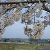 加治川堤の桜20090412(新発田市)